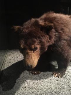 Especes d'ours-2