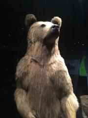 Especes d'ours-3