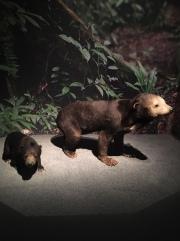 Especes d'ours-5
