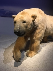 Especes d'ours-6