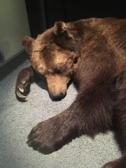 Especes d'ours-7