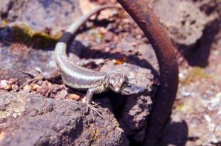 reptile salamandre lézard madère